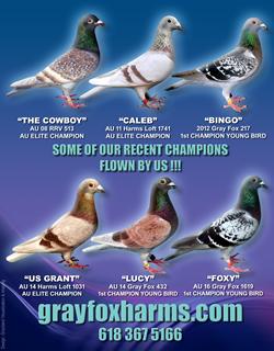 Racing Pigeons - Gray Fox and Harms Loft -Racing Pigeons
